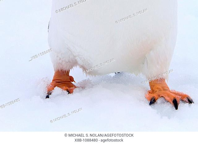 Gentoo penguin Pygoscelis papua feet detail in Antarctica, Southern Ocean  MORE INFOThe gentoo penguin is the third largest of all penguins worldwide
