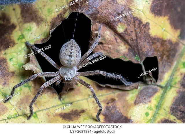 Huntsman spider. Image taken at Stutong Forest Reserve Park, Kuching, Sarawak, Malaysia