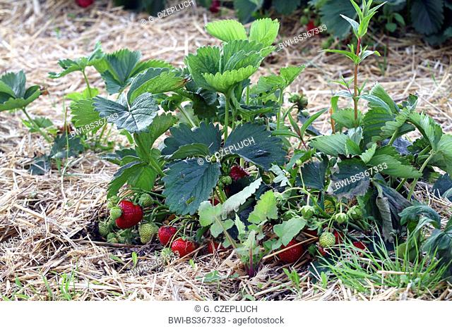 strawberry (Fragaria spec.), strawberry plant with fruits on a field