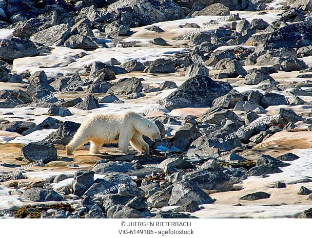 polar bear (Ursus maritimus), Svalbard or Spitsbergen, Europe - , Svalbard, 22/06/2018