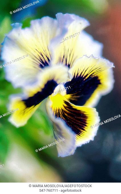 Pansy Flower. Viola x wittrockiana. April 2008, Maryland, USA