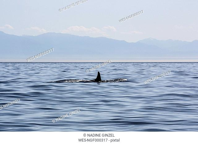 Canada, Vancouver Island, orca whale