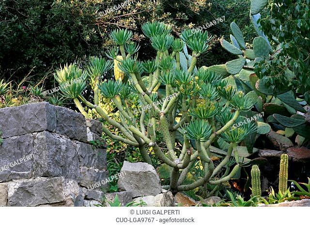 Senecio kleinia (Kleinia neriifolia)