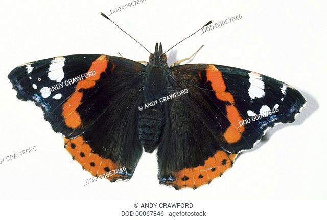 Red Admiral butterfly (Vanessa atalanta), view from above