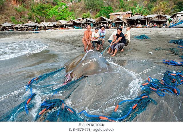 Men dragging a dead devilray Mobula japanica up the beach, Lamalera, Lembata Island, Eastern Indonesia