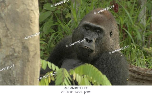 Mikumba the Silverback Western Lowland Gorilla sitting on forest floor eating surrounded by trees