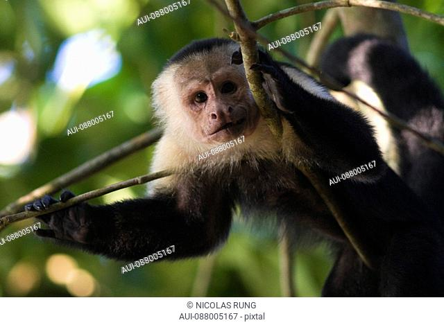White headed Capucin monkey - Corcovado