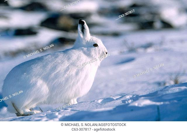 Arctic hare (Lepus arcticus) in winter coloration on fresh snow. Hudson Bay. Northern Manitoba. Canada