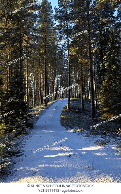 A forest track is leading through a snowy forest that is illuminated by the low winter sun. Bredbyn, Västernorrland, Sweden