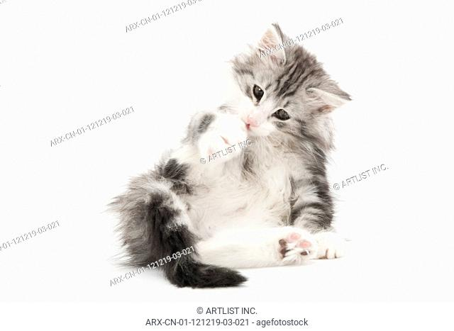 A kitten grooming itself