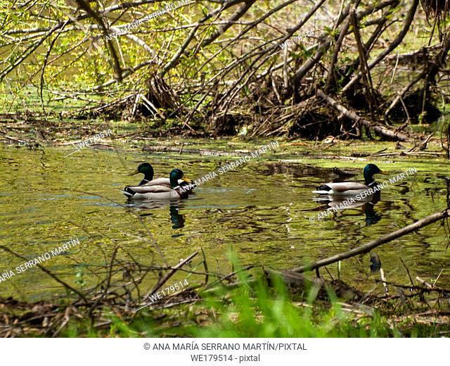 Mallard ducks (Anas platyrhynchos) swimming in the water in a river