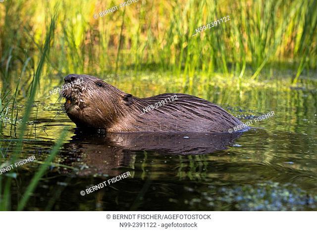 Beaver (Castor fiber), sitting in shallow water , Bavaria, Germany