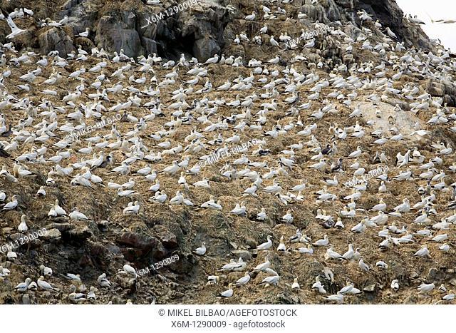 Northern gannet Morus bassanus, formerly Sula bassana group  Seven Islands Sept-Iles Bird Sanctuary  Côtes-d'Armor Breton: Aodoù-an-Arvor is a department in the...