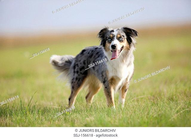 Miniature Australian Shepherd dog - standing on meadow