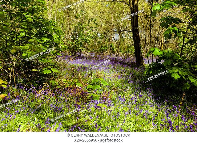 Bluebell Woods, Hampshire, England