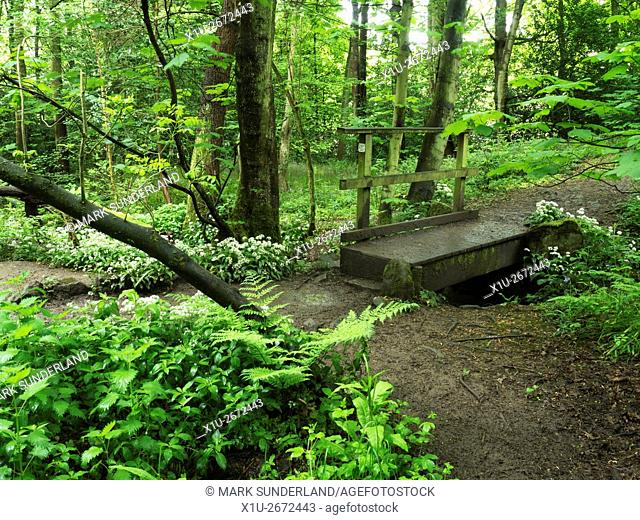 Footbridge Surrounded by Wild Garlic Flowers in Middleton Woods Ilkley West Yorkshire England