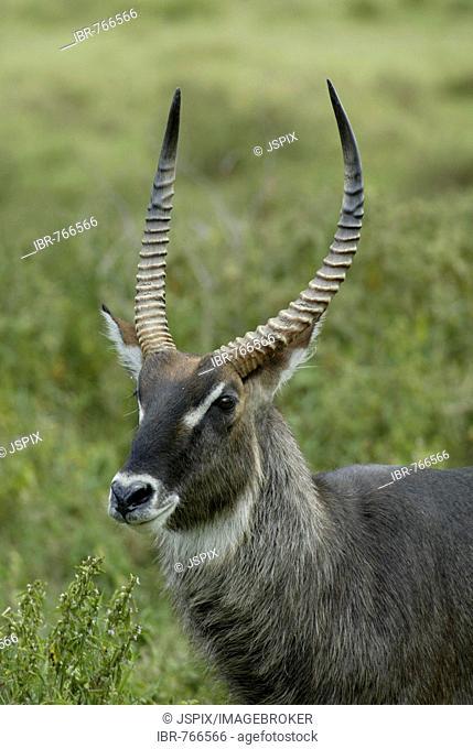 Defassa Waterbuck (Kobus ellipsiprymnus defassa), adult male, portrait, Kenya, Africa