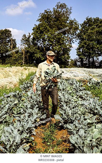 Smiling farmer walking in a field, carrying freshly harvested broccoli