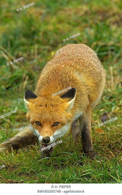 red fox (Vulpes vulpes), standing in a meadow, Germany
