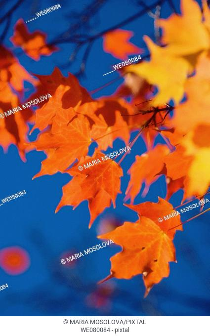 Red Maple Leaves, Blue Sky. Acer saccharum. October 2007, Maryland, USA