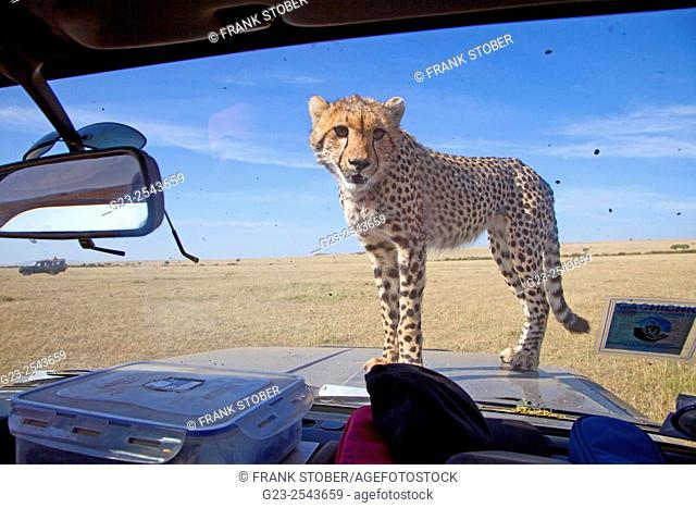 Cheetah on car. Maasai Mara National Reserve, Kenya