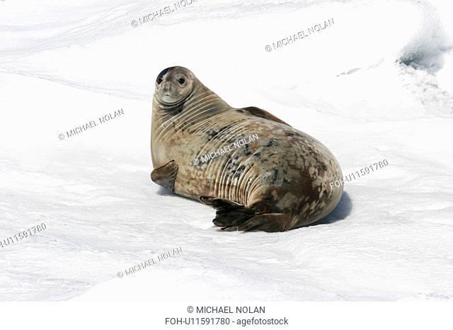 Weddell seal Leptonychotes weddellii hauled out on ice near the Antarctic Peninsula