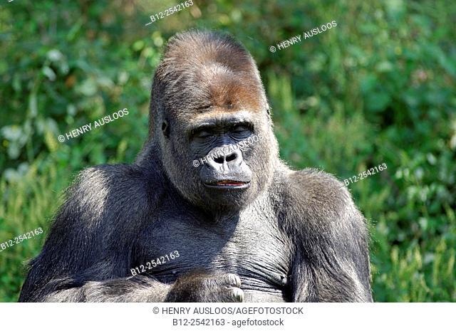 Gorilla - Gorilla gorilla - Portrait