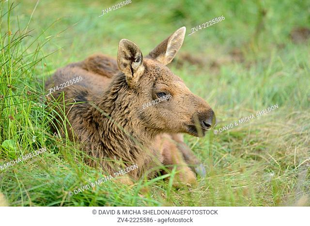 Close-up of a Eurasian elk (Alces alces) youngster in a forest in early summer