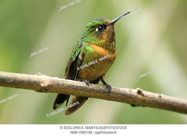 Orange-throated Sunangel hummingbird San Eusebio Cloud Forest Merida Venezuela