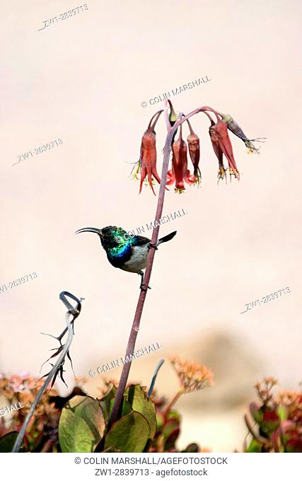 Whitebellied Sunbird (Nectarinia talatala), Ant's Hill Reserve, near Vaalwater, Limpopo province, South Africa