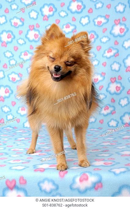 Portrait of a Pomeranian dog, smiling