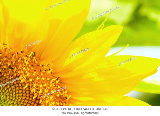Close up of an organically grown sunflower