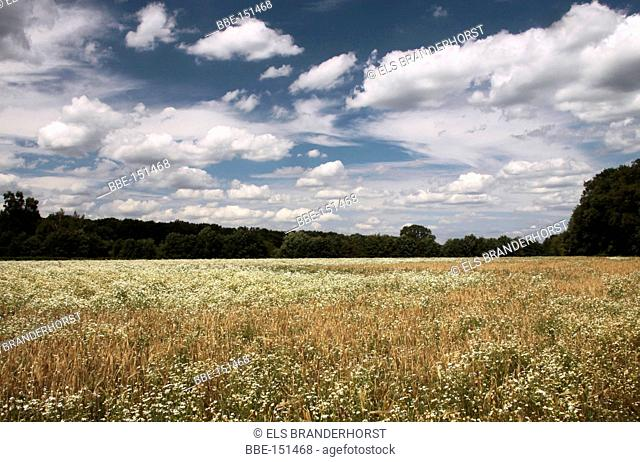 Barley and Scentless Mayweed