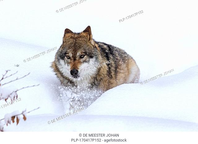 Gray wolf / grey wolf (Canis lupus) foraging in deep snow in winter