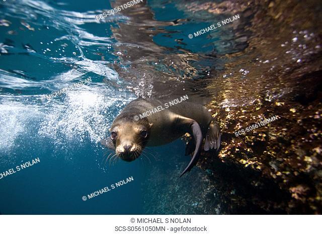 Galapagos sea lion Zalophus wollebaeki underwater in the Galapagos Island Group, Ecuador Pacific Ocean