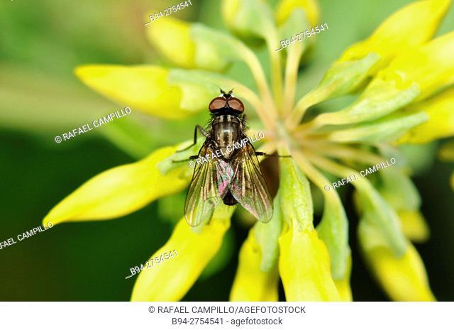 Insect, Fly, musca domestica, Flowers of Coronilla glauca, fam. Fabaceae, Turo del Putget park, Barcelona, Catalonia, Spain