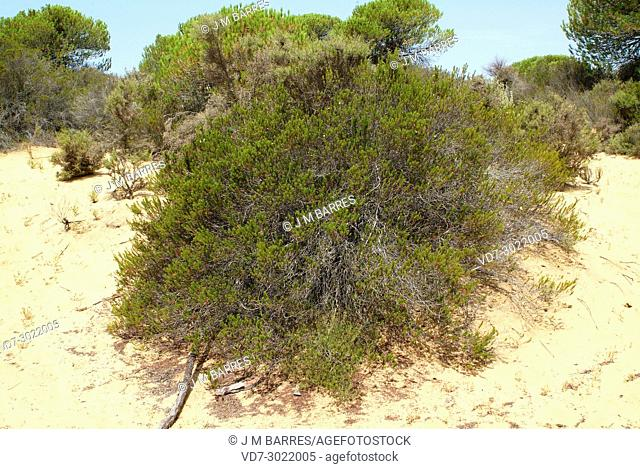 Camarina (Corema album) is a shrub endemic to atlantic coast of Iberian Peninsula, from Cadiz and Portugal to Galicia. This photo was taken in Coto de Donana...