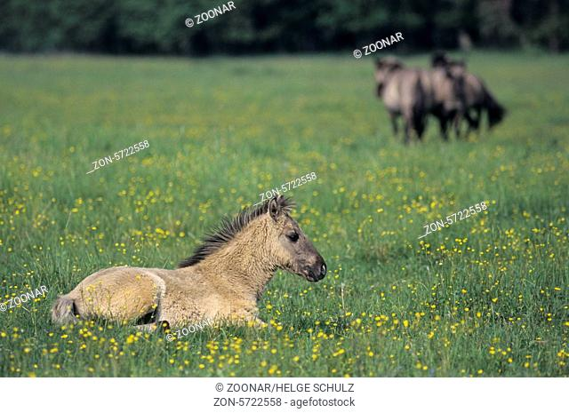 Heck Horse mares and foal on a meadow