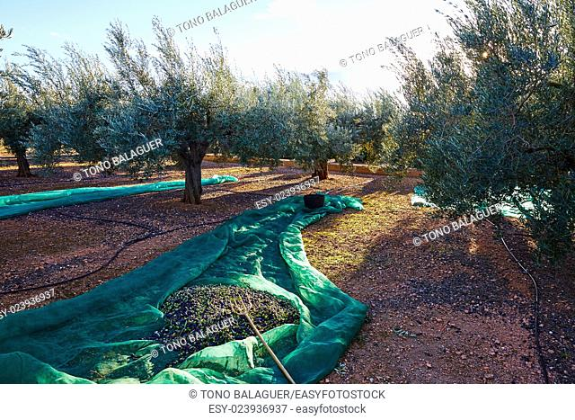Olives harvest picking with net at Mediterranean in olive trees field