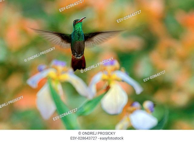 Green Rufous-tailed Hummingbird, Amazilia tzacatl, flying