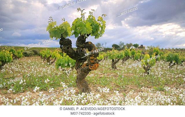 vineyard in Rioja region, Spain