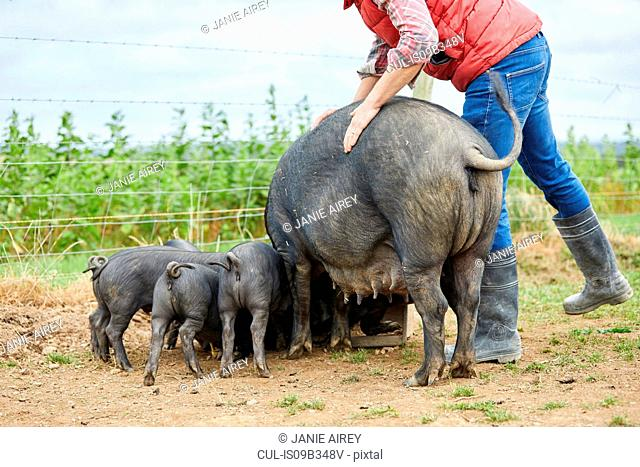 Man on farm feeding pig and piglets
