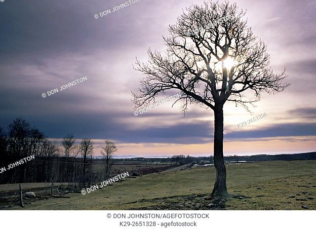 Silhouetted bare oak trees in early spring pasture, near Sheguiandah, Manitoulin Island, Ontario, Canada