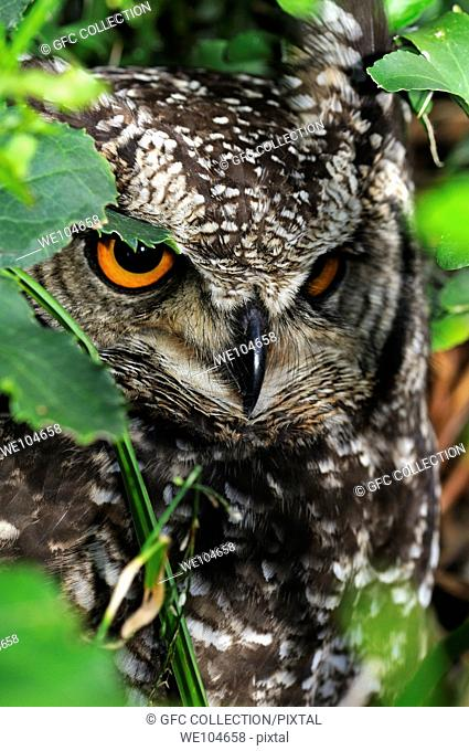 Spotted eagle owl, Bubo africanus, Western Cape, South Africa