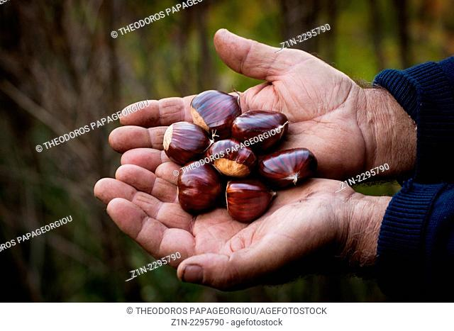 Farmer holding chestnuts. Agoriani village, Laconia, Peloponnese, Greece