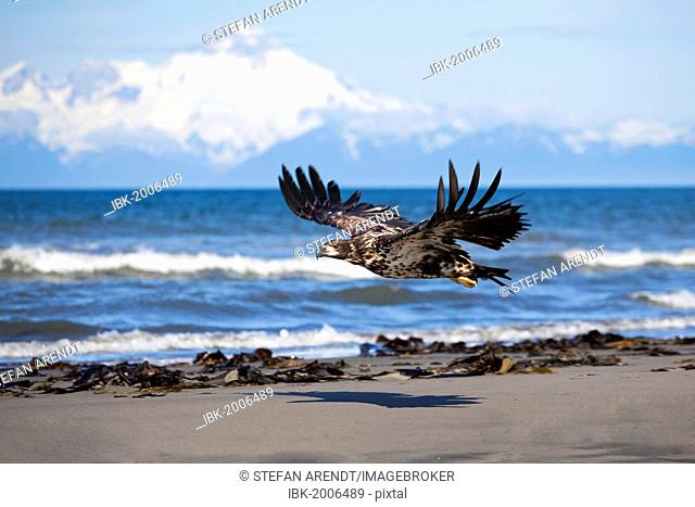 Young bald eagle on the beach at Anchor Point on the Cook Inlet with the volcano Mount Iliamna in the distance, Alaska, USA