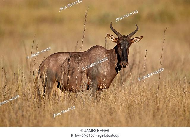 Topi (Tsessebe) (Damaliscus lunatus), Kruger National Park, South Africa, Africa
