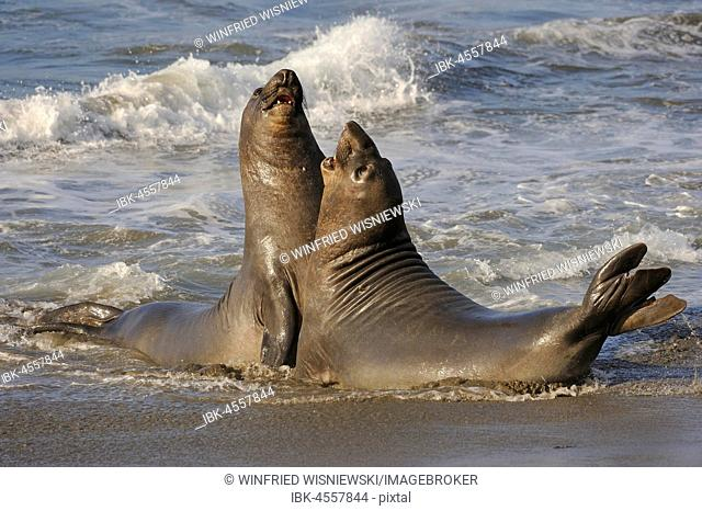 Northern Elephant Seal (Mirounga angustirostris), two young bulls fighting on the beach of San Simeon, Piedras Blanca's colony, California, USA