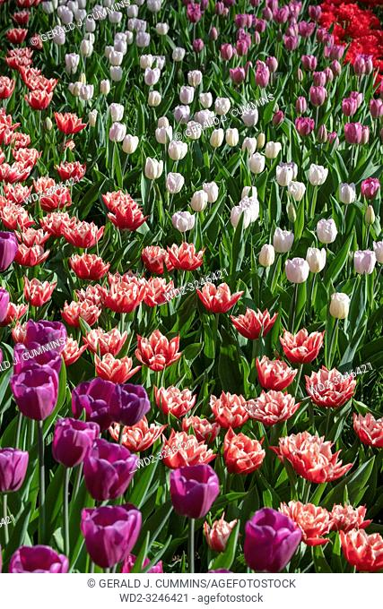 Solid coloured Tulips plants. Spring blooming perennial herbaceous flower. Exist in a multitude of colours, Popular as cut flowers