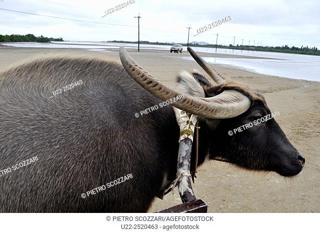 Yubu-jima Island, Okinawa, Japan: a water buffalo pulling a cart with tourists between Iriomote and Yubu-jima